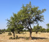 The Argan Tree